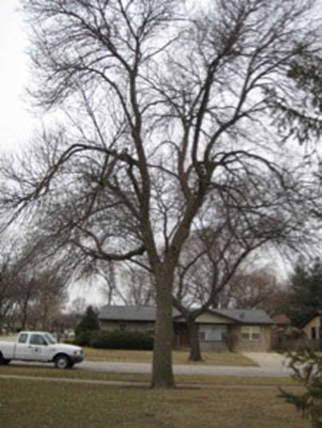 Emerald Ash Borer (EAB) Tree Replacement Program